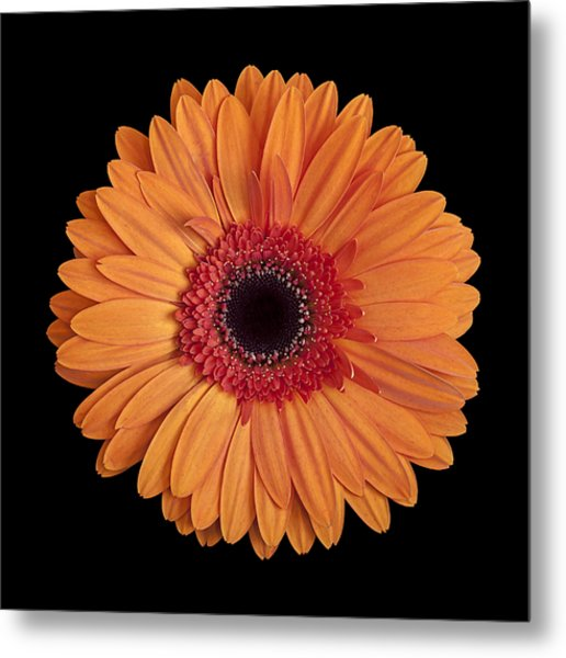 Orange Gerbera Daisy On Black Metal Print