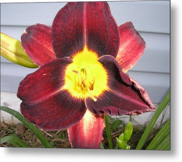 Red Lily Metal Print by Tina Antoniades