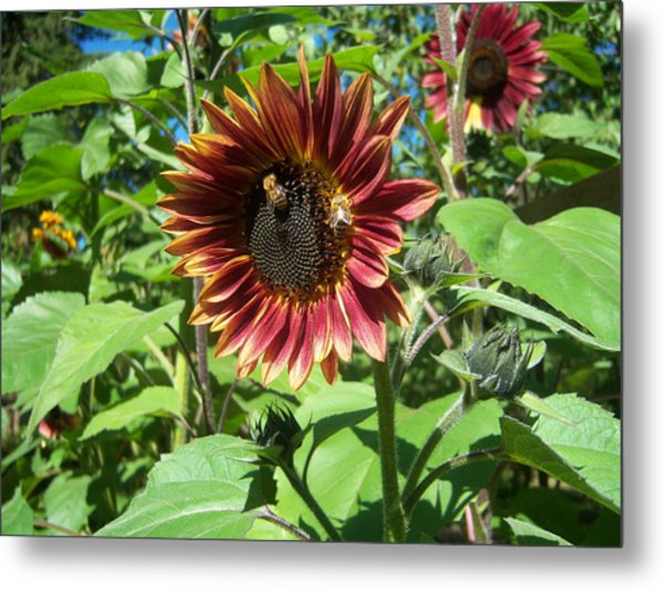 Sunflower 133 Metal Print by Ken Day