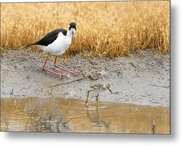 Black Necked Stilt With Chick Metal Print by Dennis Hammer