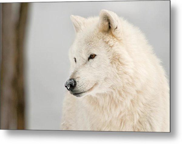 Arctic Wolf Portrait Metal Print