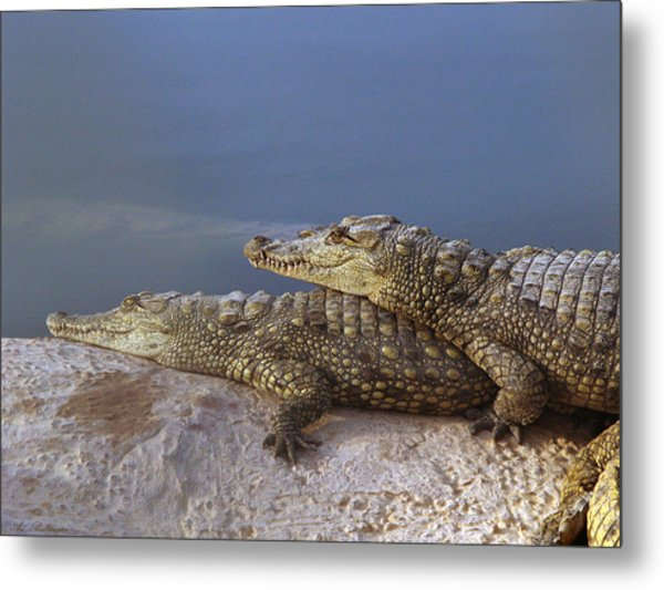 Crocodile Resting Metal Print