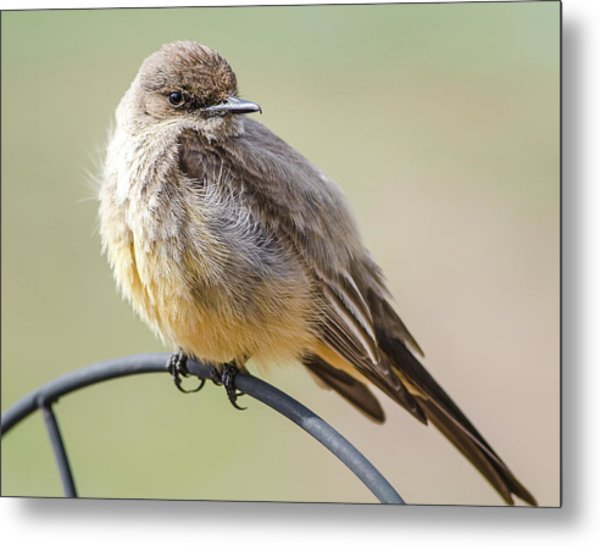 Say's Phoebe Metal Print