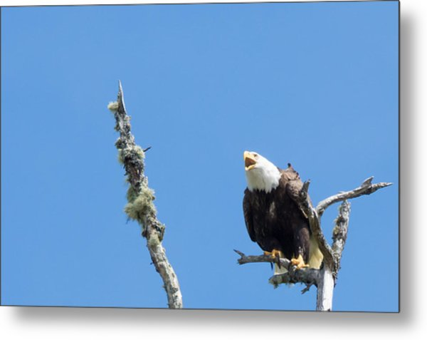 Bald Eagle Metal Print