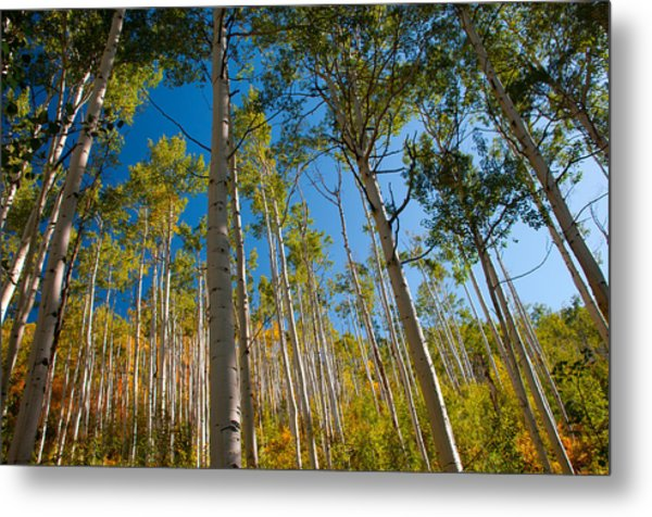 Colorado Aspens Metal Print by Terry Runion