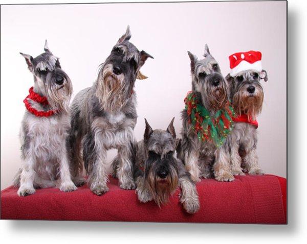 5 Christmas Schnauzers Metal Print by Bill Schmitt