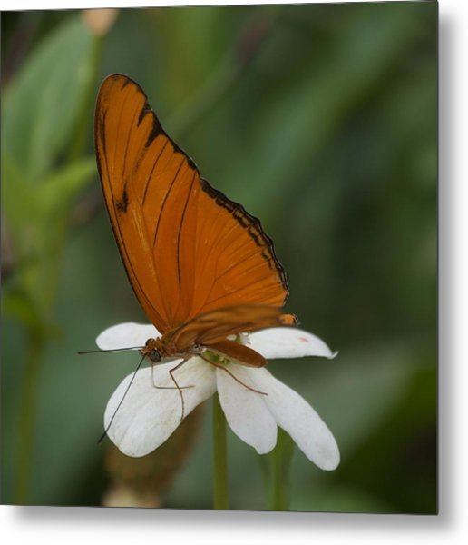A Butterfly Lands Upon A White Flower Metal Print by Susan Heller
