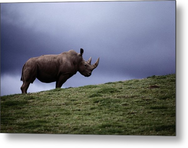 A Northern White Rhinoceros At The San Metal Print