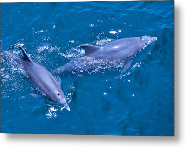 A Pair Of Dolphins Metal Print by Bill Perry