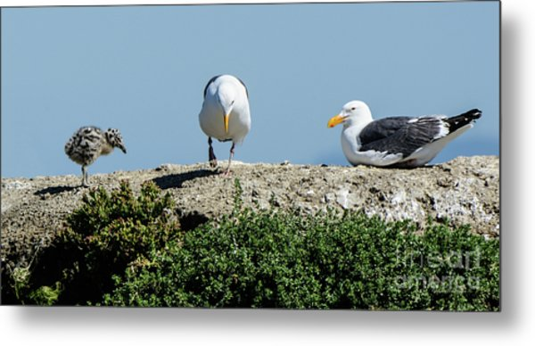 A Seagull Chick With Mom And Dad Metal Print