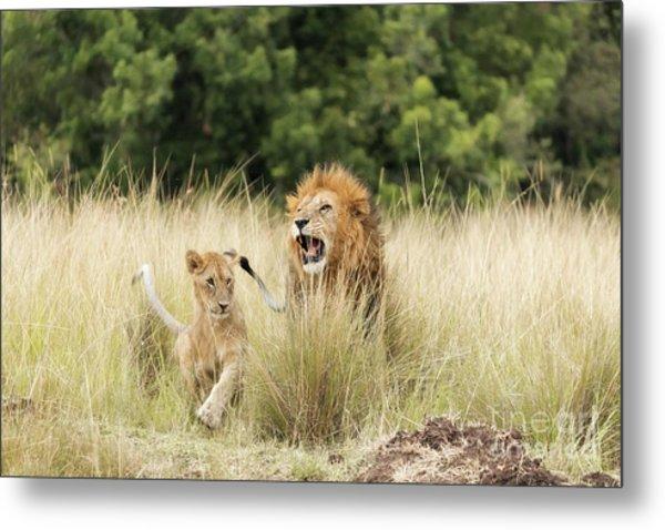Adult Lion And Cub In The Masai Mara Metal Print