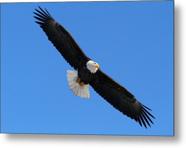 Alaska Bald Eagle Metal Print