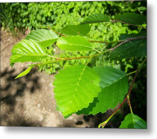 Alder Metal Print by Ken Day