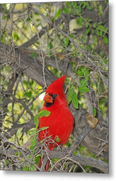 Alert Cardinal Metal Print