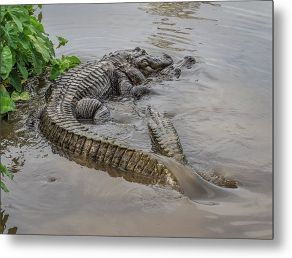 Alligators Courting Metal Print