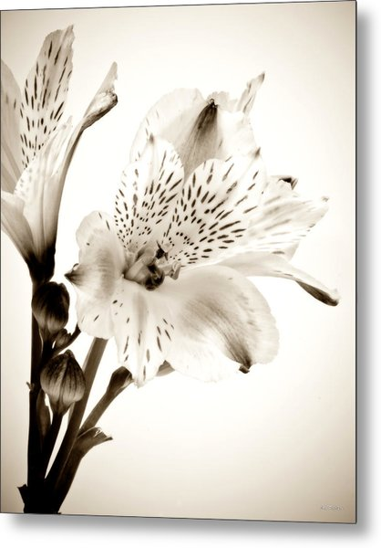 Alstromeria Lily Metal Print