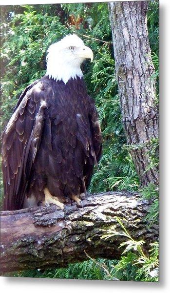 American Bald Eagle Metal Print by Emily Kelley
