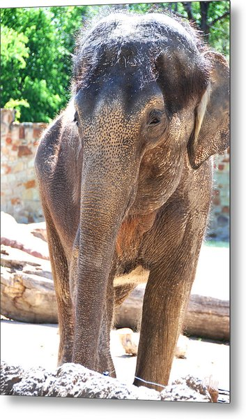 Asian Elephant Metal Print by Thea Wolff