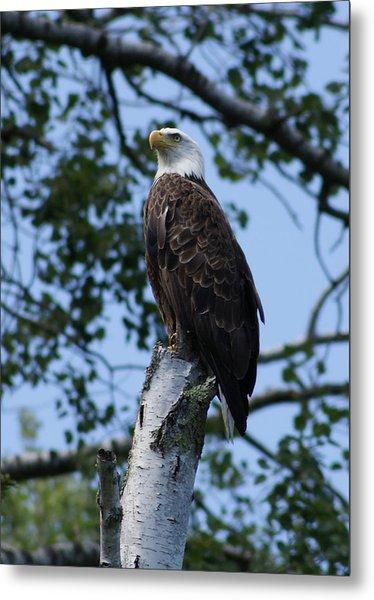 Bald Eagle On The Brule Metal Print