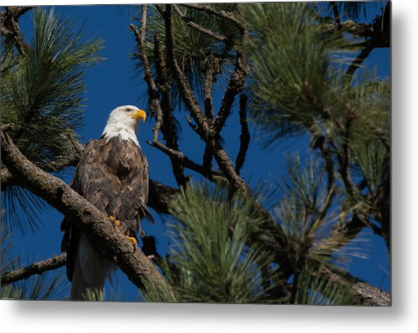 Bald Eagle Resting Metal Print