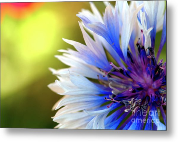 Batchelors Blue And White Button Metal Print