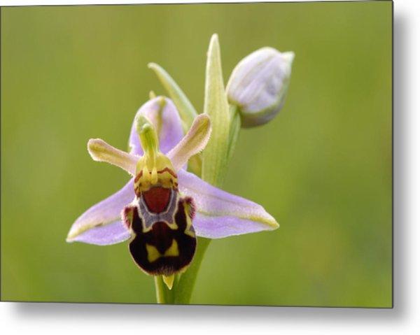 Bee Orchid Metal Print by Liz Pinchen