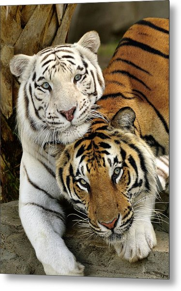 Bengal Tigers At Play Metal Print