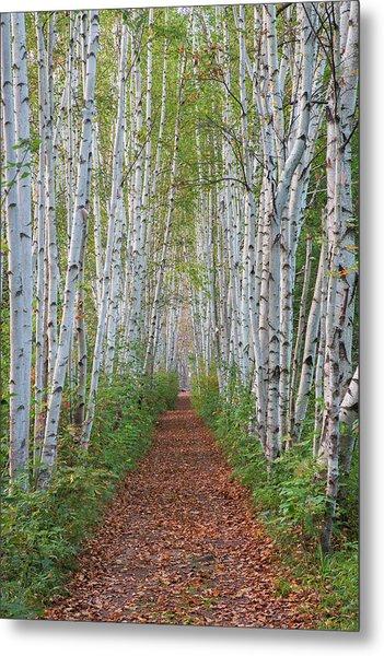 Birch Path Metal Print
