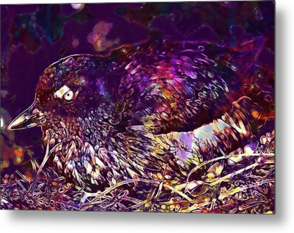 Bird Cassins Auklet Crested Birds  Metal Print