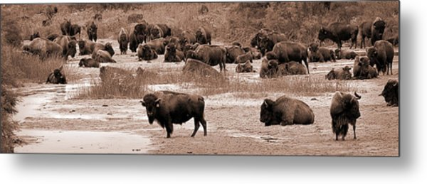 Bison At Salt Fork Arkansas River Kansas Metal Print