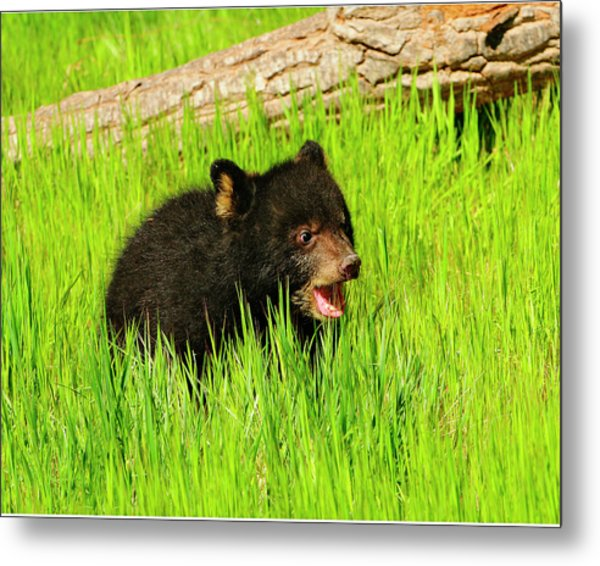 Black Bear Cub Metal Print by Dennis Hammer