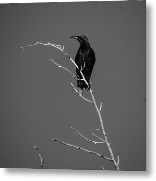 Black Bird On A Branch Metal Print