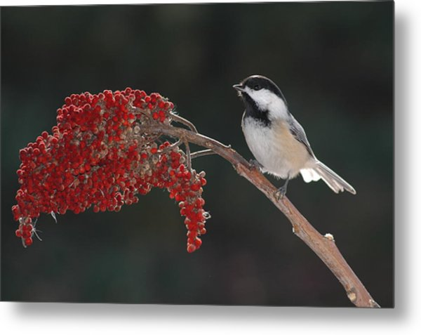 Black-capped Chickadee Metal Print by Raju Alagawadi