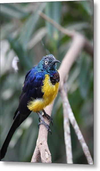 Blue And Yellow Bird Metal Print by Mark Platt
