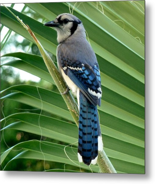 Blue Jay Protector Metal Print by Kicking Bear  Productions