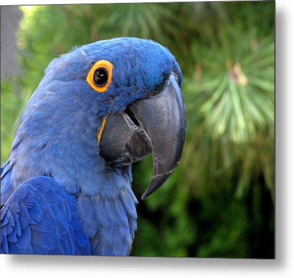 Blue Macaw Parrot Metal Print