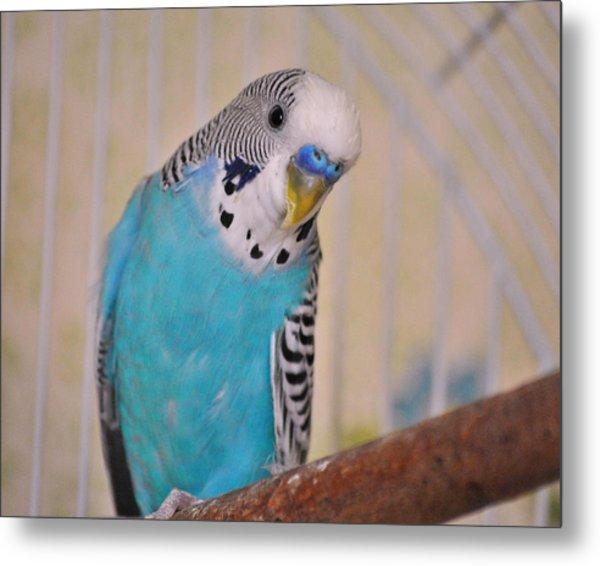 Blue Parakeet Metal Print