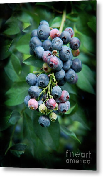 Blueberry Cluster Metal Print