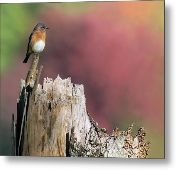 Bluebird Fall Perch Metal Print