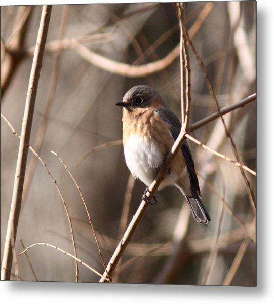 Bluebird In Beige Metal Print