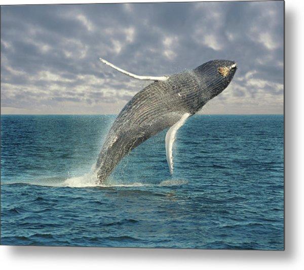 Breaching Whale Metal Print