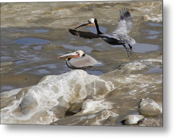 Brown Pelicans At La Jolla Cove Metal Print