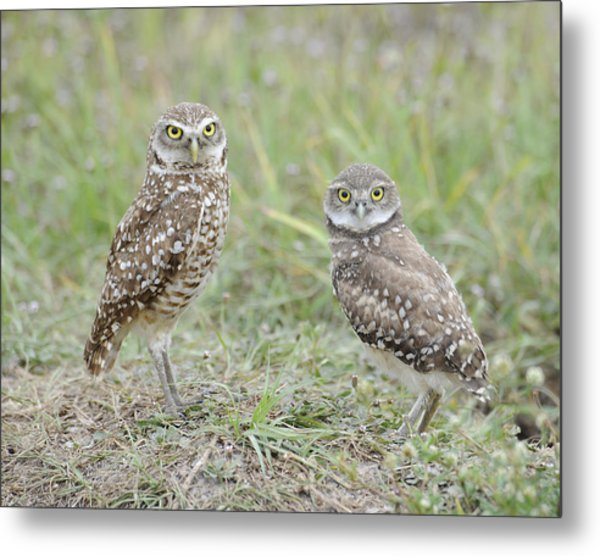 Burrowing Owls Nesting Metal Print by Keith Lovejoy