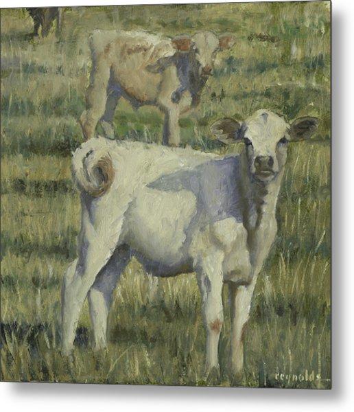 Calves In The Pasture Metal Print