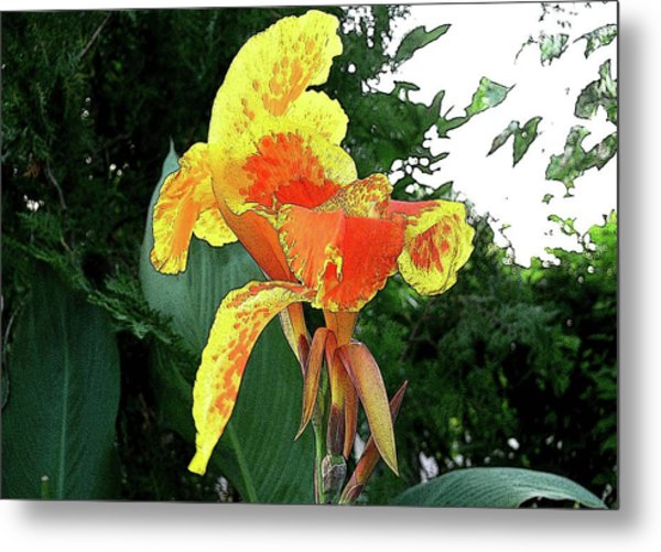 Canna 3 Metal Print by Padamvir Singh