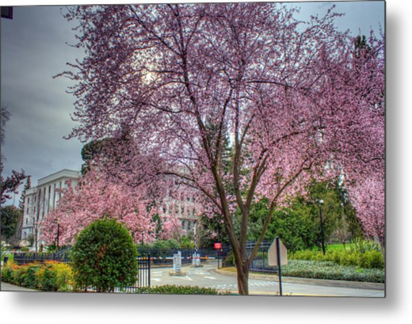 Capitol Tree Metal Print by Randy Wehner Photography