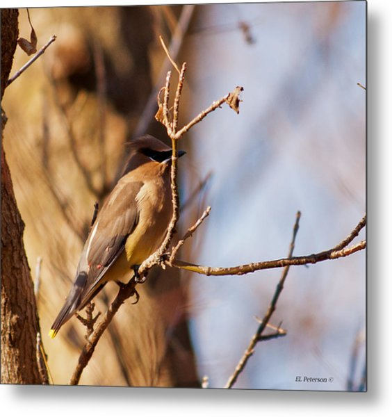 Cedar Waxwing In Autumn Metal Print