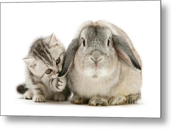 Checking For Grey Hares Metal Print