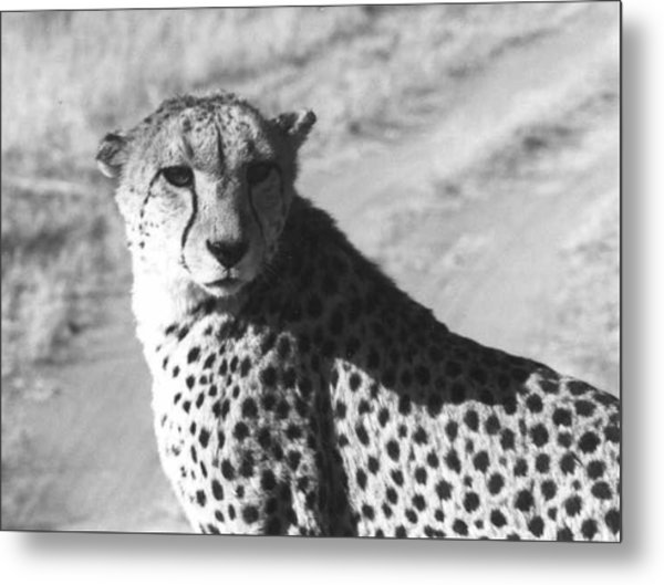Cheetah Pose Metal Print by Susan Chandler