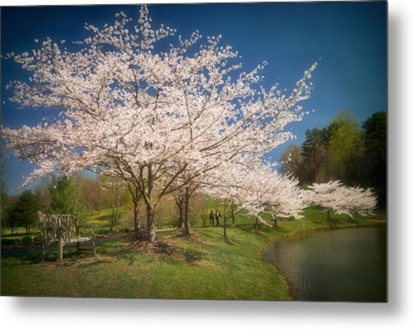 Cherry Blossoms At Meadowlark Two Metal Print